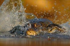 鳄鱼Yacare凯门鳄,在与晚上太阳的水中,动物在自然栖所,行动狩猎场面,飞溅水,潘塔纳尔湿地 免版税库存图片