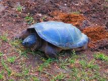 鳄龟开掘巢的Chelydra serpentina下鸡蛋 库存照片