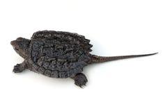 鳄龟 免版税库存图片
