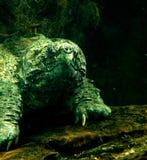 鳄龟 图库摄影