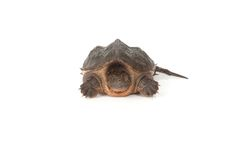 鳄龟 库存照片