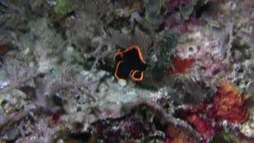 鳍类的蝙蝠鱼少年Platax pinnatus有与一个明亮的橙黄色的外缘的黑体在王侯Ampat 股票录像