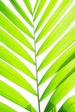 鳍类黄绿色颜色Macarthurs在白色背景隔绝的棕榈树生物叶子,冲切与裁减路线 图库摄影