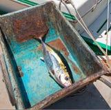 黄鳍金枪鱼在途中的Ahi金枪鱼对内圆角桌在圣何塞台尔Cabo巴哈墨西哥 免版税库存照片