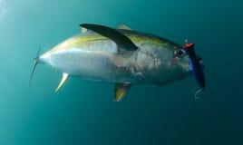 黄鳍金枪鱼鱼在有蓝色诱剂的海洋捉住了在它的嘴 库存图片