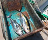 黄鳍金枪鱼Ahi金枪鱼和Bonita鲭鱼在他们的途中对内圆角桌在圣何塞台尔Cabo巴哈墨西哥 免版税库存照片