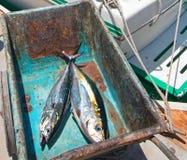 黄鳍金枪鱼Ahi金枪鱼和Bonita鲭鱼在他们的途中对内圆角桌在圣何塞台尔Cabo巴哈墨西哥 免版税图库摄影