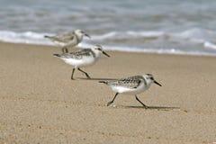 鳕鱼边缘s sanderlings水 免版税库存图片