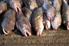 鳕鱼 免版税图库摄影