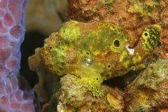 鳖鱼科之鱼隐藏的longlure海绵 免版税库存照片