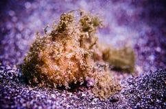 鳖鱼科之鱼bunaken北部苏拉威西岛印度尼西亚antennarius sp 库存图片