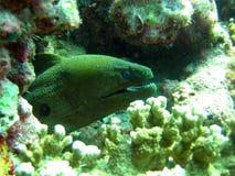 鳗鱼巨人海鳗 图库摄影