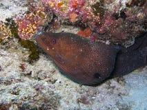 鳗鱼巨型gymnothorax javanicus海鳗 免版税库存图片