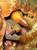 鳗鱼海鳗 免版税图库摄影