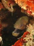 鳗鱼海鳗 免版税库存图片