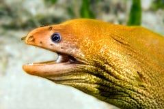 鳗鱼海鳗 库存照片