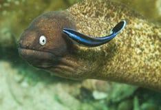鳗鱼被注视的海鳗白色 免版税图库摄影