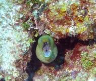 鳗鱼顶头海鳗射击 库存图片