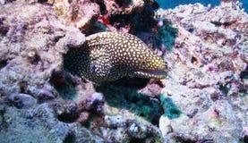 鳗鱼 图库摄影