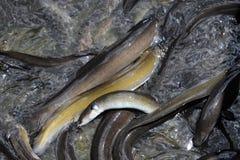 鳗鱼 库存照片
