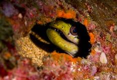 鳗鱼fimbriated隐藏的海鳗 库存图片