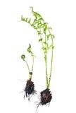 鳞毛蕨属蕨filixmas 库存照片