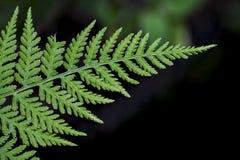 鳞毛蕨属-木蕨 库存图片