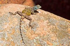 鳞状岩石蜥蜴晒黑 库存图片