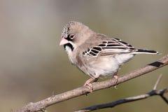 鳞状用羽毛装饰的织布工鸟 免版税库存图片