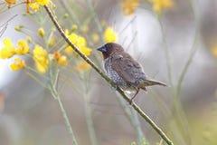 鳞状breasted泰国的Munia Lonchura punctulata逗人喜爱的鸟 免版税图库摄影