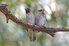 鳞状breasted泰国的Munia Lonchura punctulata逗人喜爱的鸟 库存照片