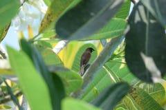 鳞状breasted的munia 库存图片