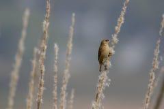 鳞状breasted munia或被察觉的munia 库存照片