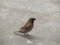 鳞状breasted munia鸟在庭院走道站立 库存图片