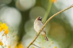 鳞状breasted Munia,鸟 库存照片
