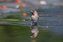 鳞状breasted Munia Lonchura punctulata逗人喜爱的鸟浇灌反射 免版税库存照片