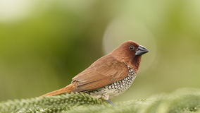 鳞状breasted munia (Lonchura punctulata) 免版税库存照片