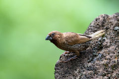 鳞状breasted munia (Lonchura punctulata) 库存照片