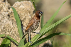 鳞状breasted Munia Lonchura punctulata 库存图片