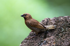 鳞状breasted Munia Lonchura punctulata 免版税库存照片