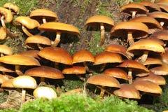 鳞甲目蘑菇或被覆盖的woodtuft 库存图片