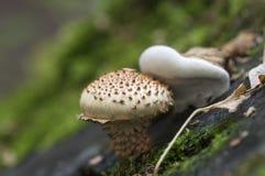 鳞甲目squarrosa蘑菇 免版税库存图片