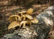 鳞甲目squarrosa,生长在日志的狂放的蘑菇 库存照片