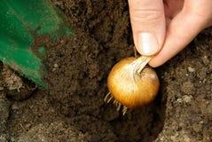 鳞茎植物09 库存照片