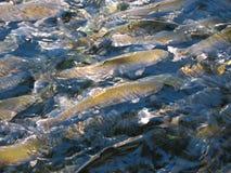 鳟鱼农场,在水关闭的三文鱼 图库摄影