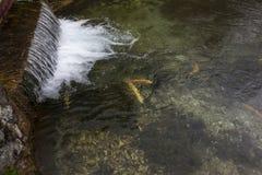 鳟鱼和瀑布02 免版税库存照片