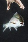 鳟鱼手渔 库存图片