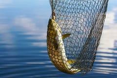 鳟鱼抓住 免版税库存图片