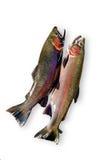 鳟鱼 库存照片