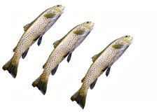 鳟鱼 库存图片